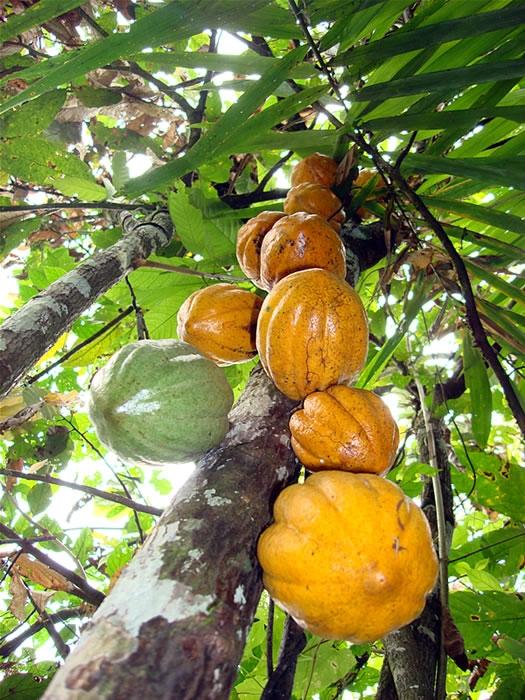 CacaoGhana