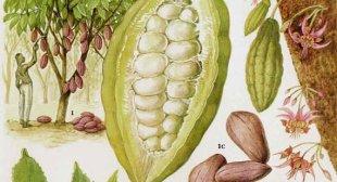 Illustratie: 'Cacao Beans & Pods', gevonden op Etsy.