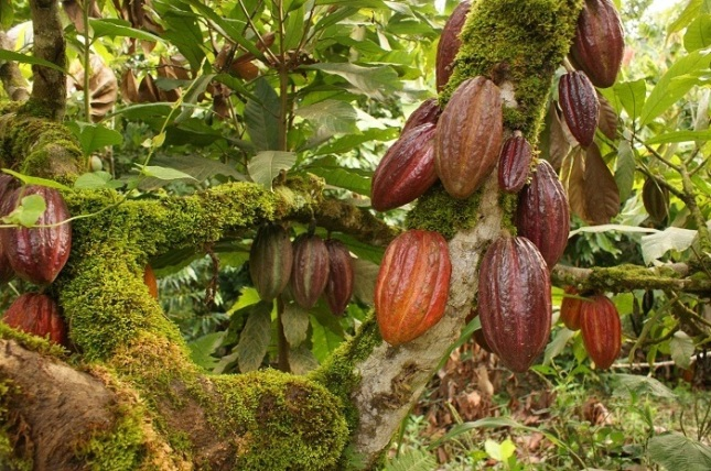 cocoaforestl1274