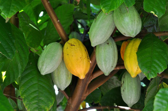 daintree_estates_cocoa